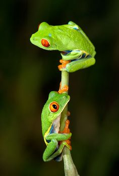 Red eye tree frog.. My future pet✌