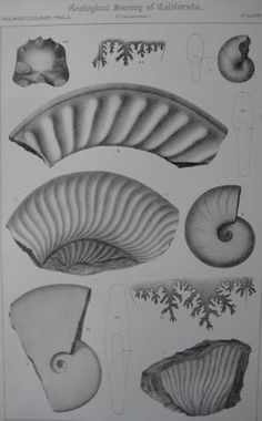 "Pl.10 Paleontology Vol. I (Cretaceous). A detailed lithographic print of fossilized shells by M. Gabb from his book ""Geological Survey of California"". This book was Published by Authority of the Legislature of California by Bowen and Co. 1864 & 1869. First Editions. Two Volumes. Vol. 1, [xx] 243 pp. Vol. 2, [xvi], 299 pp. The book featured A total of 68 engraved plates of fossils with printed tissue guards. Carboniferous and Jurassic Fossils. Triassic and Cretaceous Fossils. Overall this..."