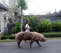 Pet pig. Bali.