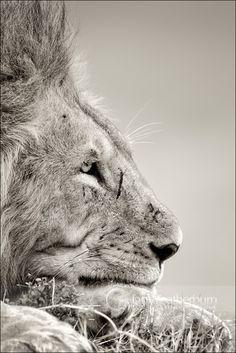 Lion Gazing by ~MrStickman on deviantART