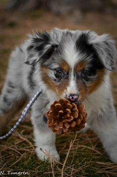 My friends gorgeous Rommy who freaking loves pine cones @Niki Kinney Tungren.  (KO) What a beautiful puppy. Speckled and sweet.
