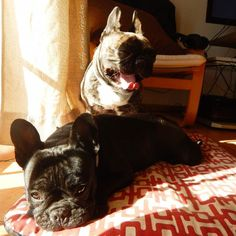 Nami and Luffy, French Bulldogs, #TongueOutTuesday #Nami #tootiredtocare #Luffy #gotyourback #yawning #frenchie #luffynamifrenchies by luffy_nami_frenchies