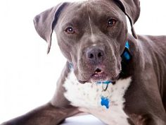 Myths and Facts about Pit Bull dogs ♥ Loved and pinned by Noah's Ark Mobile Vet Service | 250-212-5069 | Kelowna