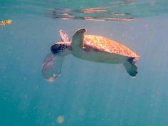 Turtle rsting jrllyfish