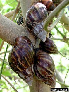Giant East African snail Achatina fulica,  David G. Robinson