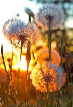 Dandelions in the sunshine photography sky outdoors flowers sun Foto Gif, Dandelion Wish, Dandelion Art, All Nature, Belle Photo, Pretty Pictures, Pretty Pics, Beautiful World, Simply Beautiful
