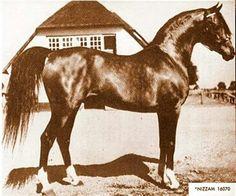 Nizzam.  A beautiful old-school stallion.