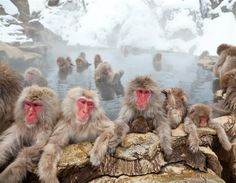 Japanese macaques (snow monkeys)