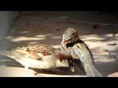 Mother sparrow feeding baby sparrow