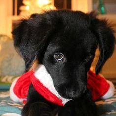 My black lab puppy :)