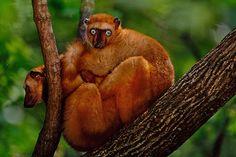 Endangered Species: Blue-eyed black lemur, Eulemur macaco flavifrons, Madagascar