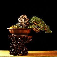 Bonsai… Striking Japanese Pine Bonsai