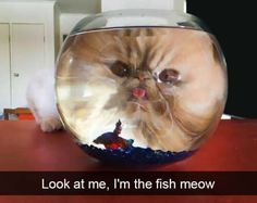 A Viral Photo of a cat Staring Into a Fishbowl Inspired A Great Photoshop Battle - World's largest collection of cat memes and other animals Funny Cute Cats, Funny Cat Memes, Cute Funny Animals, Funny Animal Pictures, Silly Jokes, Funniest Cat Memes, Hilarious, Photo Chat, Animal Memes