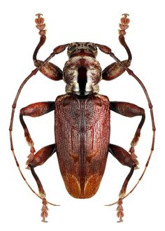 Photos - BUGS & INSECTS - Enotes lifuanus