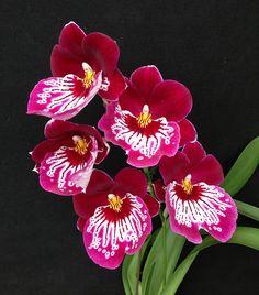 Orchid: Miltoniopsis Hajime Ono 'Rasberry' (Martin Orenstein x Pearl Ono) - Flickr - Photo Sharing!