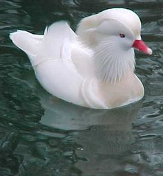 The only mutation, thus far, is the White Mandarin. White Mandarin males are white.  They have the same markings as the Mandarin, and wherever there is a dark colour on the Mandarin, the White Mandarin haves a light chestnut/tan colour.  The beak is a bright red.  Females are all white.  Some may have a chestnut/tan stripe in a few of the flight feathers.