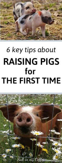 I LOVE working with pigs, they're really a joy a to keep and raise. But there are 6 key things I wish I'd known to do before getting my first batch of pigs. Here's what I wish I'd done before raising pigs for meat on our small farm. Raising Farm Animals, Raising Rabbits, Pigs Raising, Livestock Farming, Pig Farming, Small Pigs, Small Farm, Pig Breeds, Pig Pen
