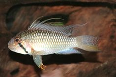 "Apistogramma barlowi - ~4"" mouth brooding cichlid from Peru"