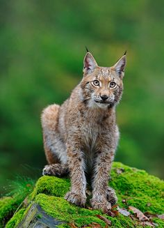 "Pohlednice Rys ostrovid ""Blonďák"" (O. Quokka, Rys Ostrovid, Fox, Wallpapers, Animals, Birds, Lynx, Wallpaper, Foxes"
