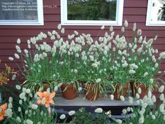 bunny tail grass - love it!  Growing from seed this year!