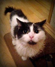 Mój mały, półprywatny świat.: Czy te oczy mogą kłamać? Teak, Cats, Animals, Fotografia, Gatos, Animales, Animaux, Animal, Cat