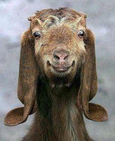 Goat. - Imgur