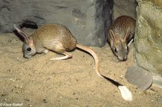 Great Jerboa