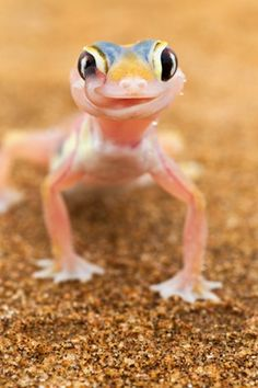 It's thirsty work for this pink web-footed gecko that uses its long tongue to both clean its eyes of dust and drink the moisture that collects on its eyes when the morning mist rolls in from the sea. Photograph: Martin Harvey/Barcroft Media