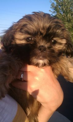 Piper our baby girl! She was 7 weeks old here. Shorkie Puppy