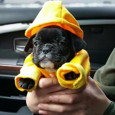 """""""This is me on the Car Ride to my Forever Home"""".....""""I already got this swell hoodie, so I think I'm gonna like it there"""", adorable French Bulldog Puppy."""