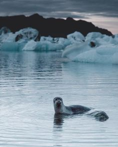 One of the many resident seals living at Jökulsárlón Glacial Lagoon.  Photo by: @justcallmebenni