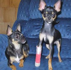 Roo the Chihuahua.... what a trooper