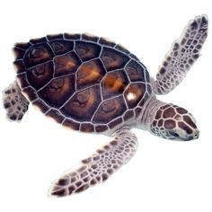 3 Baby Sea Turtle Decals by WilsonGraphics on Etsy Baby Turtles, Sea Turtles, Kayak Decals, Largest Sea Turtle, Sea Turtle Pictures, Turtle Nursery, Sea Turtle Art, Tortoise Turtle, Frog And Toad