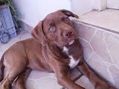 Αποτέλεσμα εικόνας για λευκαδιτη βιβη Labrador Retriever, Pitbulls, Dogs, Animals, Labrador Retrievers, Animales, Pit Bulls, Animaux, Pet Dogs