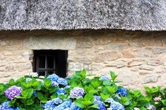 Details of a thatched cottage in Brittany  France  with hydrangeas