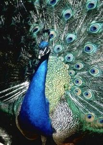 Funny Facts About Peacocks