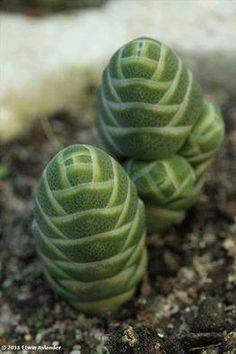Crassula columnaris