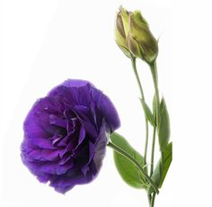 purple lisianthus - Great for the tables to throw in the mason jars, with some green trick, cotton, white hydrangeas, dusty miller, seeded eucalyptus, & some kind of champagne flower