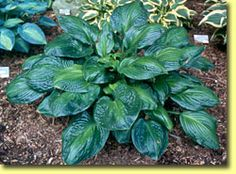Hosta Potomac Glory; photo courtesy of Green Hill Nursery