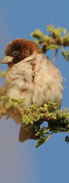 The Chestnut Sparrow (Passer eminibey) is a species of passerine bird in the sparrow family Passeridae. It is the smallest member of the sparrow family, at about 11 cm (4.3 in) long. he Chestnut Sparrow is found in East Africa along a broad band of mostly lower country from Darfur through the Kordofan region, South Sudan, Somalia, Uganda, and Kenya to north-central Tanzania. Its range also extends northeast into the southwest and Great Rift Valley of Ethiopia.