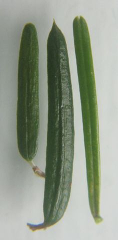 Sapin baumier (Abies balsamea) Plants