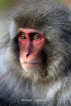 Macaque monkey face at Jigokudani hot springs, Honshu, Japan Monkey See Monkey Do, Ape Monkey, Flying Monkey, Primates, Mammals, Jungle Animals, Cute Animals, Colorful Animals, Exotic Animals
