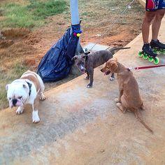 """""""Poder compartir Diferentes Razas nos enseña a que podemos tener un mejor trato entre nosotros!!! #bulldogs #mestizos #pitbull #labrador #pets #armonia #socilaizacion"""" Photo taken by @capo.bulldogvzla on Instagram, pinned via the InstaPin iOS App! http://www.instapinapp.com (04/23/2015)"""
