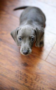 Such a pretty dachshund