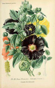 img/dessins plantes et fleurs jardins et appartements/dessin de fleur de jardin 0111 rose tremiere - althaea rosea.jpg