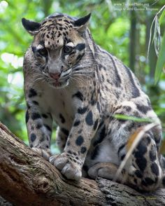 Photo of a gorgeous Clouded Leopard.