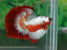 Summary: Betta Fish also known as Siamese fighting fish; Mekong basin in Southeast Asia is the home of Betta Fish and is considered to be one of the best aquarium fishes. Betta Aquarium, Freshwater Aquarium Fish, Fish Aquariums, Pretty Fish, Beautiful Fish, Colorful Fish, Tropical Fish, Betta Fish Care, Betta Tank