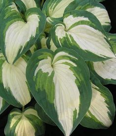 Hosta Ghostmaster: just bought this hosta.  Can't wait to see what it looks like in my white garden!
