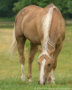 Palomino - Amanda's horses are Cowboy and Sundae. Quarter Horses, American Quarter Horse, Horses And Dogs, Cute Horses, Wild Horses, Horse Photos, Horse Pictures, Most Beautiful Animals, Beautiful Horses