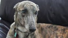 I  want a retired greyhound because they are kind, gentle animals who deserve a good life.